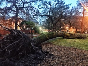 Weekend storm fells second huge oak at SRJC