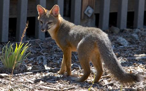 Wild fox recently calls our school home