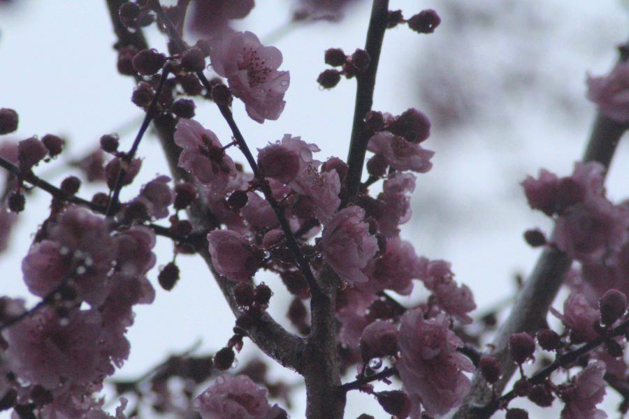 Cherry+blossoms+remain+in++their+budding+phase+right+before+they+bloom+as+the+early+spring+approaches+Sonoma+County.