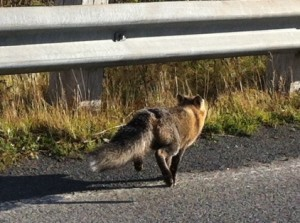 Spotting SRJC's Feral Side: Cats, Foxes and Raccoons Take Over When Students Leave