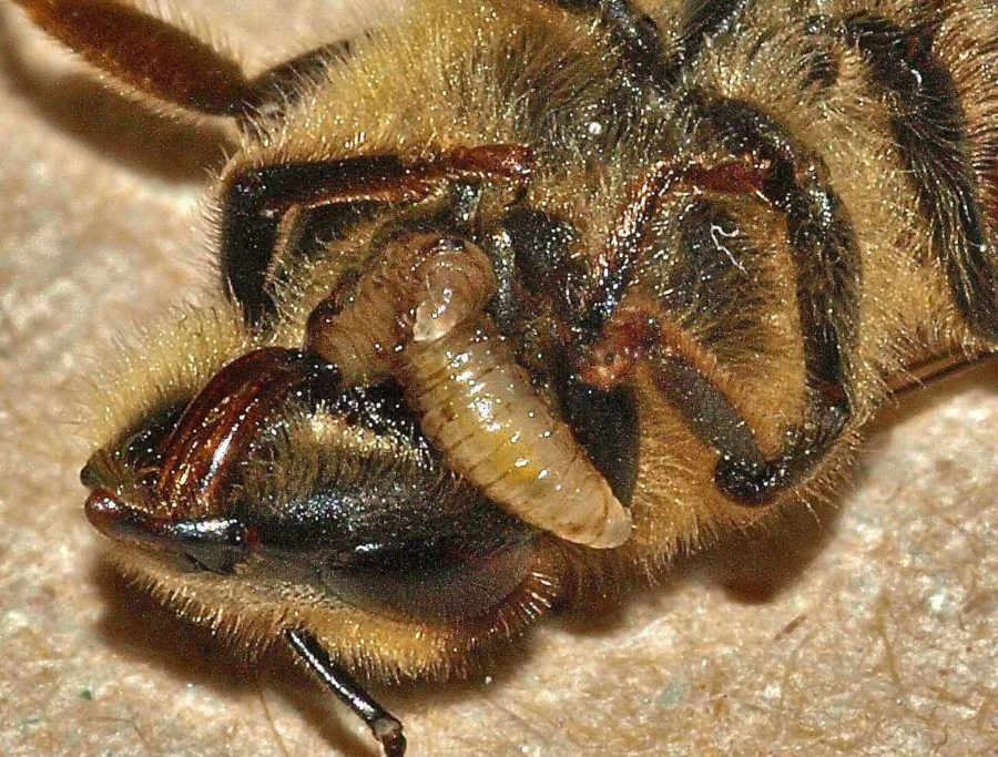 """Honey bees infected by Apocephalus borealis larvae exhibit """"zombie-like"""" behavior before dying. The larvae then pops off the head and emerges from the body."""