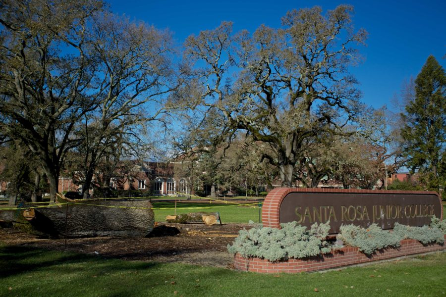 Winds gusting at 45 miles-per-hour toppled an approximately 250-year-old oak tree at the Santa Rosa campus Nov. 1.