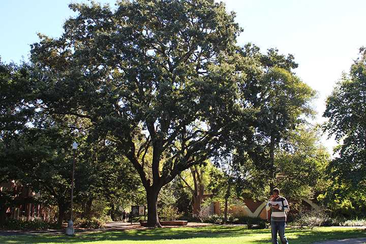SRJC is home to beautiful oak trees that are sprawled all over Santa Rosa campus.