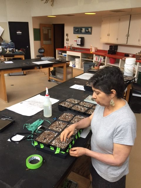Biology+Instructor+Abigail+Zoger+is+using+a+plant+called+Arabidopsis+for+CURE+in+her+biology+courses.+She+is+bringing+course-based+undergraduate+research+into+classrooms+to+give+students+experience+with+research.