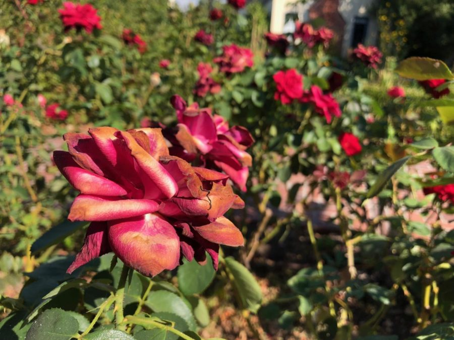 Flowers at the Luther Burbank Gardens. PC Rachel Edelstein.