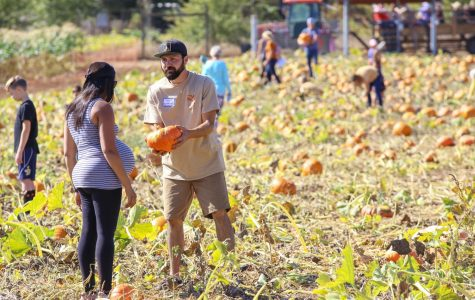 At every Shone Farm Fall Festival, the pumpkin patch attracts crowds of guests from all over Sonoma County and volunteers assist guests with cutting and carrying their pumpkins to the checkout stand.