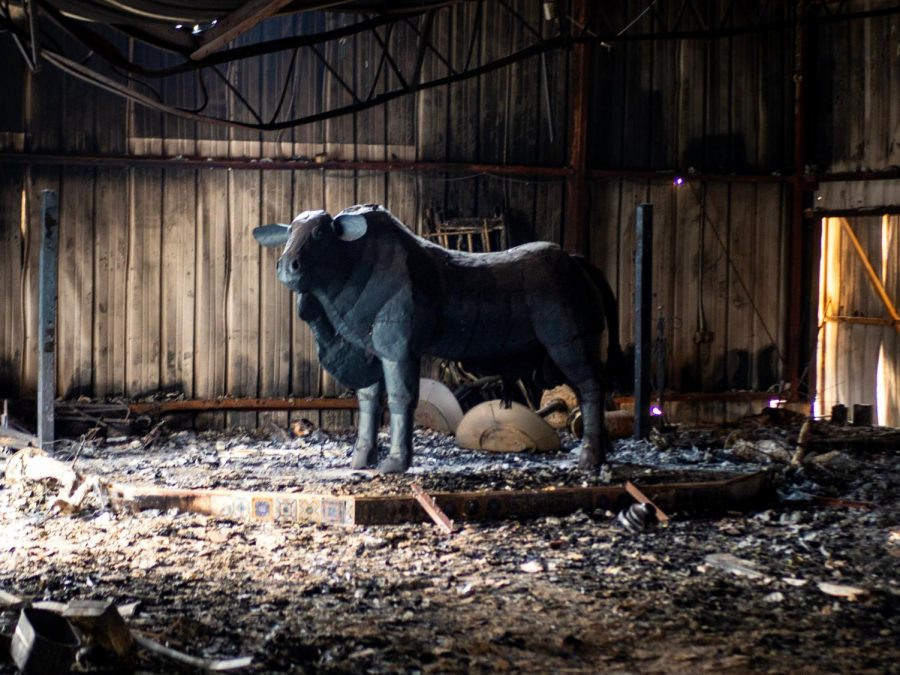 A bull statue is all that's left of the inside of a burned-out barn at Oak Ridge Angus, a 107-year-old cattle ranch that lost five homes and several cows during the Kincade Fire.