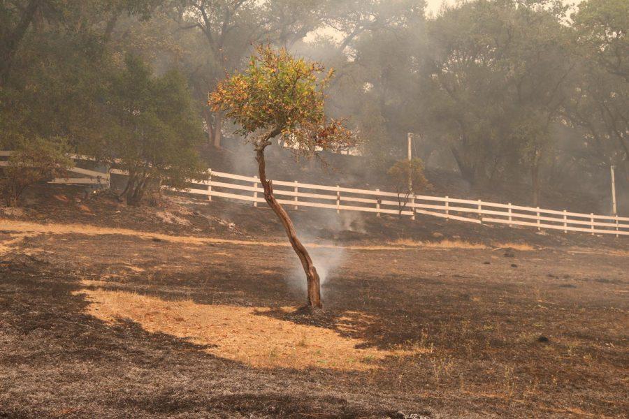 A lone tree smolders on Calistoga Road.