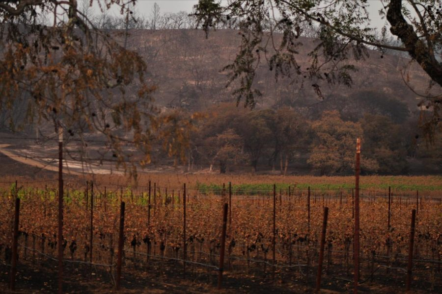 One section of burnt vineyard sits between other untouched blocks.