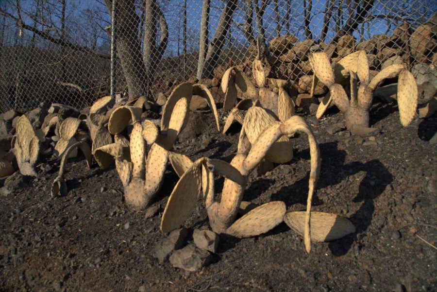 Shriveled cactus after the Glass Fire along Los Alamos Road