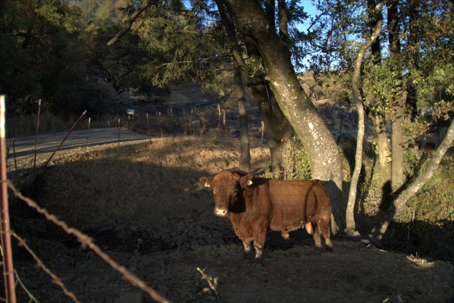 A cow grazing on the few patches of grass not devastated by the Glass Fire near Los Alamos Road.