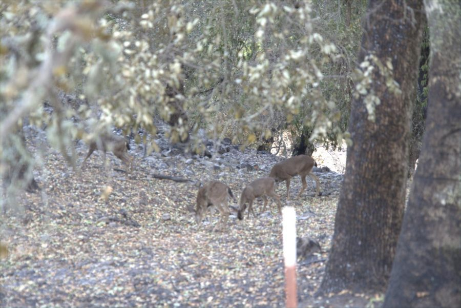 Deer in the hills around Los Alamos Road are still able graze after the devastation
