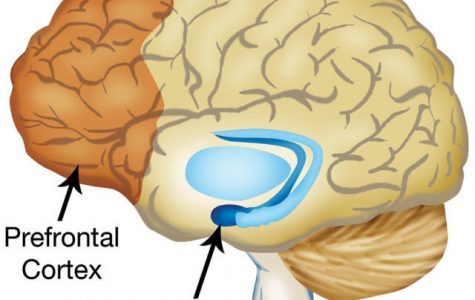 The prefrontal cortex and amygdala may be the two most important decision makers in the brain.