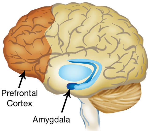 The+prefrontal+cortex+and+amygdala+may+be+the+two+most+important+decision+makers+in+the+brain.
